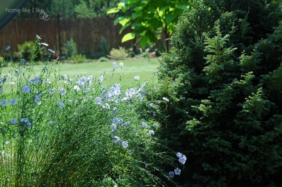 kwiaty lnu