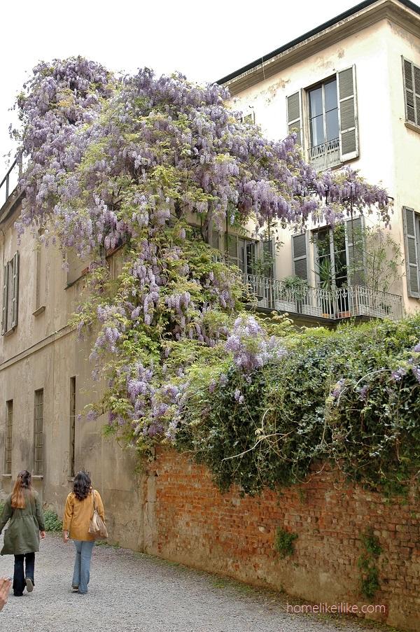 wisteria - homelikeilike.com