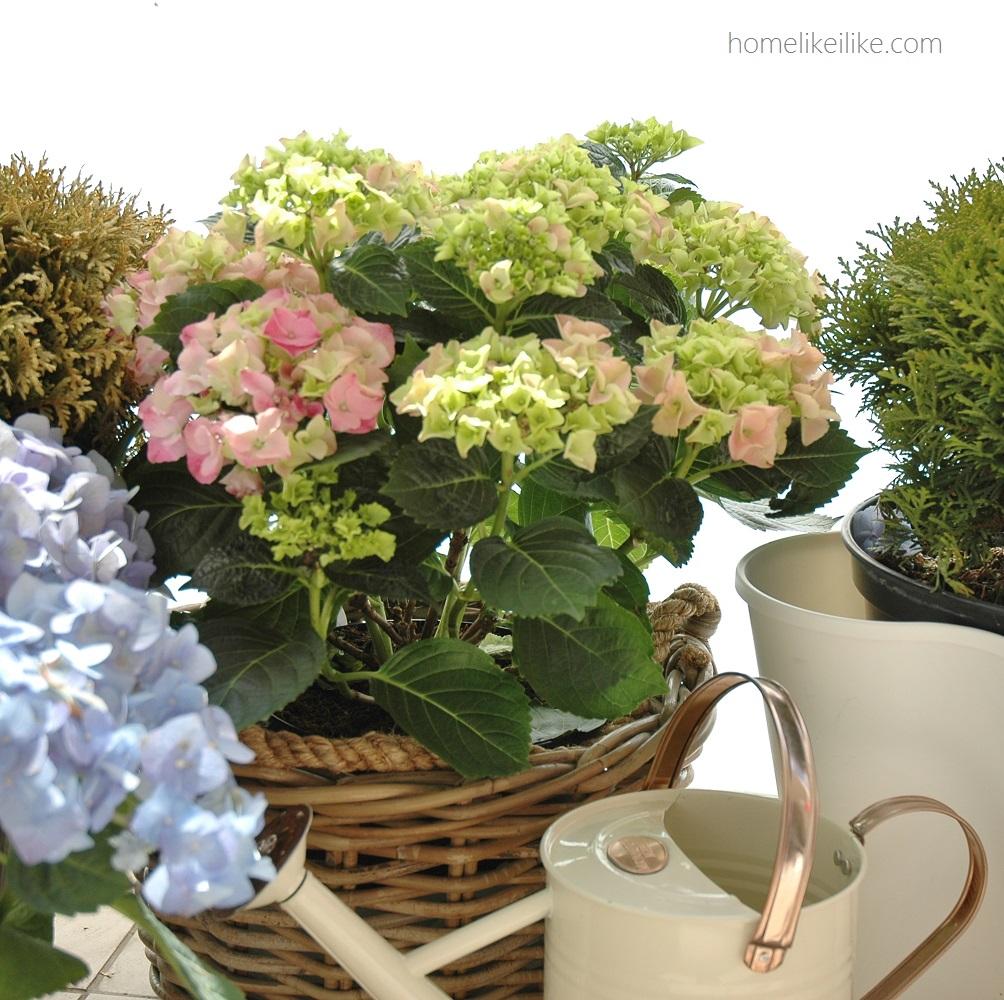 hortensje - homelikeilike.com